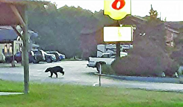 This black bear was seen at least twice Friday as it passed through Custer. This photo was taken by Sam Nicholai at about 5:15 a.m. after the bear crossed Hwy. 16 on its way to the Super 8 motel parking lot